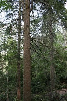 Hemlock History Repeating Itself?  Scientists trying to save eastern hemlock trees from widespread insect attacks may have uncovered a case of déjà vu, dating back millennia.