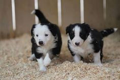 OMG Puppies. The Border Collies form our #BorderCollieCam were born last night and they are adorable.