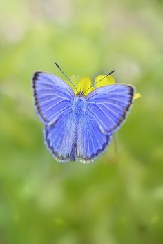 Holly Blue. Celastrina argiolus