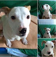 Ohana Dog_Blog: Pit bull cucciola adozione