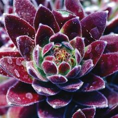 "Red Beauty Hens & Chicks Small rosettes of succulent leaves form colorful, tidy evergreen mounds 3-4"" tall. Continues to multiply and is perfect as a ground cover, in a rock garden or decorative container. Drought resistant."