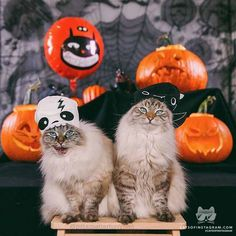 "From @hollysisson: ""Alice and Finnegan wish you a happy, spooky Halloween! Boo!  (See more of Alice and Finnegan on @pitterpatterfurryfeet.)"" #catsofinstagram [catsofinstagram.com]"
