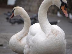 Swans Along River Shannon