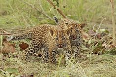 2 Leopard cubs by Gary Parker Photos, via Flickr