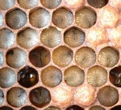 First Lessons in Beekeeping: Honey Bee Biology - eXtension
