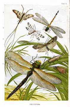 """Neuroptera  - illustration """"An order of hexapod insects having two pairs of large, membranous, net-veined wings. The mouth organs are adapted for chewing. They feed upon other insects, and undergo a complete metamorphosis. The ant-lion, hellgamite, and lacewing fly are examples."""" (Webster's)"""