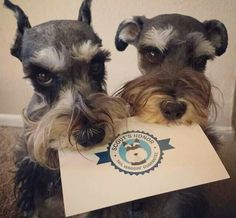 This Schnauzer picture is absolutely adorable ❤️