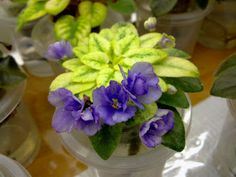 African Violet - Rob's Chilly Willy