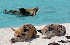 Está para nascer porquinhos mais sortudos do que estes. A curiosaMajorCay, ou Pig Island, fica no Caribee surpreendentemente abriga uma porção de porcos em seu território, que nadam tranquilamente nas águas cristalinas, numa eterna sensação de férias. A ilha fica no meio do Bahamas e tem visual paradisíaco, apreciado pelos suínos, que se divertem na água. Há séculos,um grupo de marinheiros os deixaram lá para garantir uma reserva de alimentos durante suas longas viagens, ou seja…