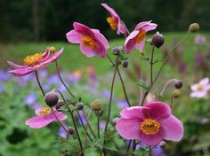 Anemone hupehensis 'Praecox' - Sasanka (Fotografie : Skalničky a trvalky Fall Flowers, Love Flowers, Anemone Du Japon, Flower Shorts, Garden Journal, Herbaceous Perennials, Evening Primrose, Types Of Plants, Geraniums