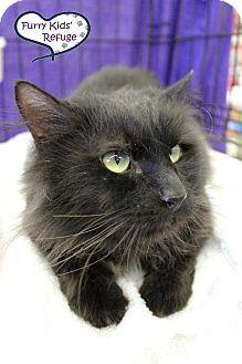 Lee's Summit, MO - Domestic Longhair. Meet Vanessa, a cat for adoption. http://www.adoptapet.com/pet/10758516-lees-summit-missouri-cat