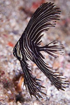 zebra batfish by Todd Aki on Flickr