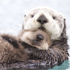 """Our team for Alaska filmed this sea otter mother and her pup floating in Prince William Sound. The mother will fluff up the pup's dense fur, trapping a…"""