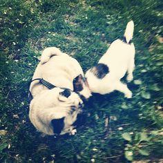 heididahlsveen:  #atsjoo og Mopsan #mops #dog #hund #puppy