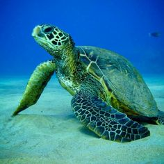 Sea Turtle..so pretty!