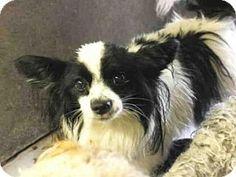 Mesa, AZ - Papillon Mix. Meet BUTTERS, a dog for adoption. http://www.adoptapet.com/pet/14299060-mesa-arizona-papillon-mix
