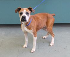 I'm a total sweetheart that just deserves all the love in the world. Hi everyone, my name is Zoey and I'm a beautiful 13 year old female Boxer mix that just wants a family that loves me and a comfy home. I'm unbelievably friendly and I just adore...