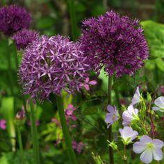 Allium aflatunense Persischer Kugellauch