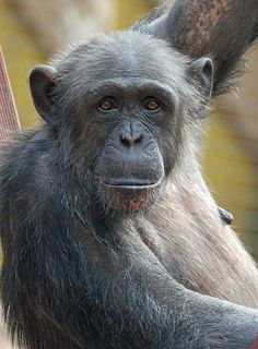 Chimpanzee - such a wonderfully sweet face on this older chimp