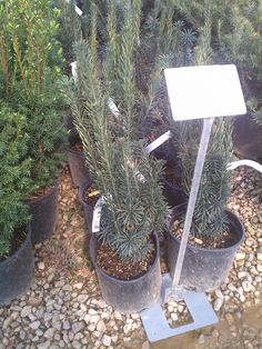 Plum Yew $15