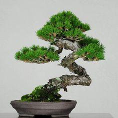 bunjin red pine