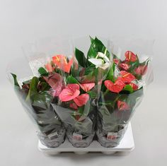Anthurium andr. Beauty 6 colormix Ø17cm in lace-sleeve