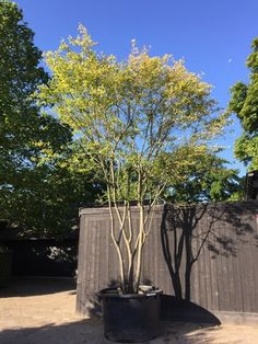 meerstammige carpinus betulus - Google Search Potted Trees, Trees And Shrubs, Trees To Plant, Dry Garden, Night Garden, Home And Garden, Back Gardens, Outdoor Gardens, Outdoor Rooms