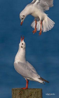 Gaviota reidora - Black headed gull by Rafael Sanchez Sanchez on 500px