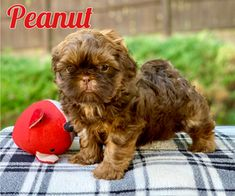 Shih Tzu Puppy For Sale In Buford Ga Usa