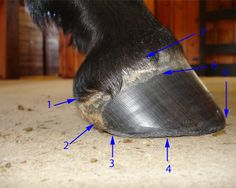 Horse hoof anatomy taught with clear, well labeled photos and simple explanation