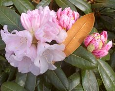 "Rhododendron Teddy Bear (Yak). H 3-4'6"". Blooms May."