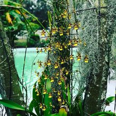 Evening flowers in the garden. #orchid #orchidlover #flower #flowers #garden #mygarden #inbloom #bloom #pretty #gorgeous #flowerstagram #nature #picoftheday #rainbowsendgarden #florida #southflorida #floridalife #gardening #gardenlife #life #enjoy #love #thankful #photography #orchids #photoshoot #oncidium #joy