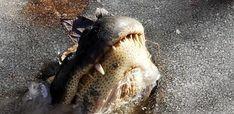 Here's How Frozen Alligators Survived Last Week's Winter Blast | HuffPost