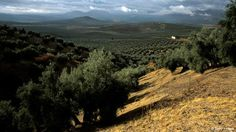 World olive oil production this season would set a new record 3.3 million tons