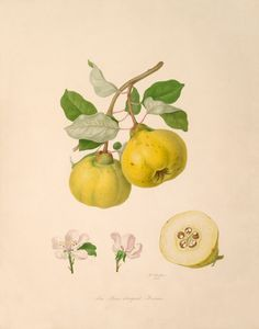Watercolour by William Hooker of the Pear shaped Quince. This is taken from one of ten volumes known as Hooker's Fruits which were commissioned by the RHS to help reform the nomenclature of cultivated fruit. Creator: Hooker, William (1779-1832) (Artist). Date: 1816