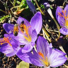 Bees on the autumn crocus Purple Flower Bouquet, Purple Wedding Flowers, Exotic Flowers, Amazing Flowers, Bee On Flower, Cactus Flower, Flower Art, Purple Flowers Wallpaper, Beautiful Flowers Wallpapers