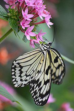 Pink Pentas hosts nectaring Paper Kite | por jungle mama