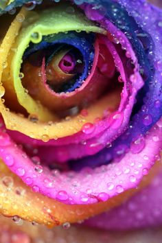 Rainbow Rose as a pride tattoo. It could look like water colors. Rainbow Rose as a pride tattoo. It could look like water colors. Rainbow Roses, Rainbow Flag, Rainbow Baby, Over The Rainbow, Rainbow Colors, Rainbow Photography, Rose Photography, Beautiful Roses, Beautiful Flowers