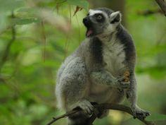 Duke Lemur Center – Durham, North Carolina   Atlas Obscura