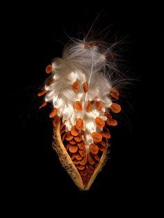 Milkweed Seed Pod Front by JulianChandlerPhotography.com