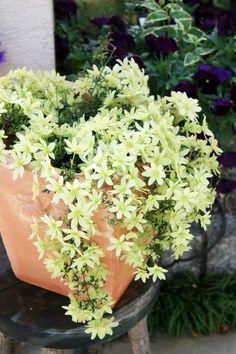 コレは絶対植えたい!満開の感動を味わえる多年草3選 - Bloom in My Garden ~緑ある暮らしのススメ~