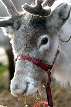 Kettering.Millbrook school pupils met Oslo the reindeer.12/1/2009