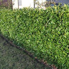 Prachtige volle haag met de Prunus 'Caucasica'. Groenblijvend en een snelle groeier, ideaal voor een dichte haag te vormen. Prunus, Peach
