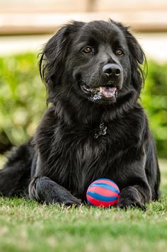 'This is My Ball' - Gorgeous Newfoundland Dog