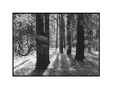 """Forest Floor, Yosemite"" by Ansel Adams"