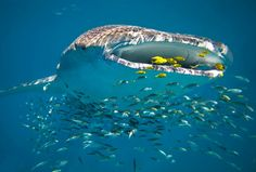 Whale shark filter feeding, surrounded by other smaller fish - View amazing Whale shark photos - Rhincodon typus - on Arkive Great Barrier Reef, Western Australia, Australia Travel, Australia Beach, Australia Occidental, Swimming With Whale Sharks, Humpback Whale, Fauna, Ocean Life