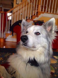 #dog #wolf #husky #border #collie #mix