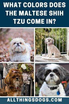 There are a variety of Maltese Shih Tzu colors ranging from black to brown, or even red or silver. They can also be all white or white and brown/tan. Normally they have a brown mask around their eyes that makes them look almost like a superhero!   #malteseshihtzucolor #malteseshihtzu #malshicolors Maltese Shih Tzu, Shih Tzu Mix, Shih Tzu Puppy, Brown Dog, White Dogs, Mixed Breed, Dog Design, Puppies, Superhero