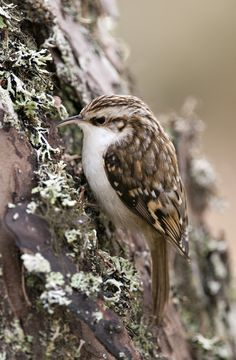 Treecreeper looking for food in Caledonian Pine Tree by Margaret Walker #precious creatures 2,030 notes