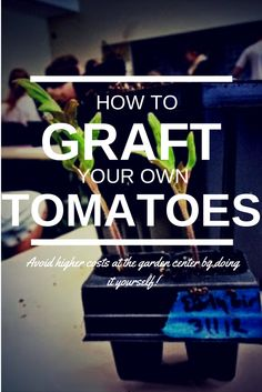 How to Graft Your Own Tomatoes - Avoid higher costs at the garden center by doing it yourself!